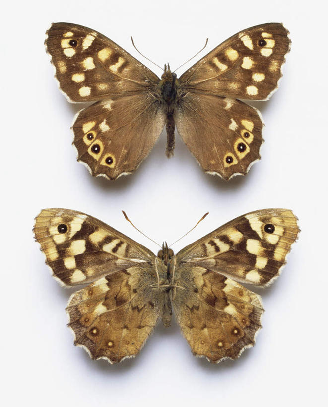 无人,竖图,俯视,室内,白天,白色背景,蝴蝶,昆虫,黄色,动物,两只,摄影