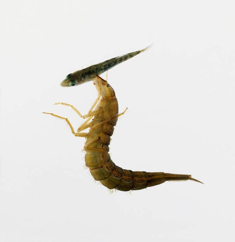 甲壳虫,一个,动物,海底世界,摄影,影棚,单个,甲虫,益虫,泅水,拍浮,海