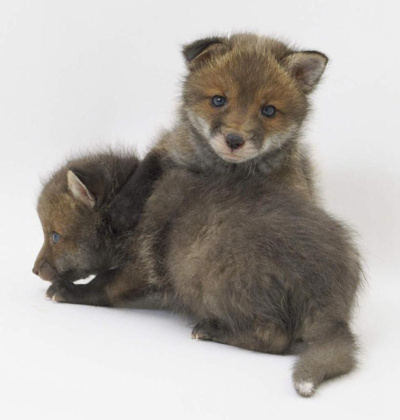 无人,坐,躺,竖图,室内,特写,白天,白色背景,正面,狐狸,野生动物,注视