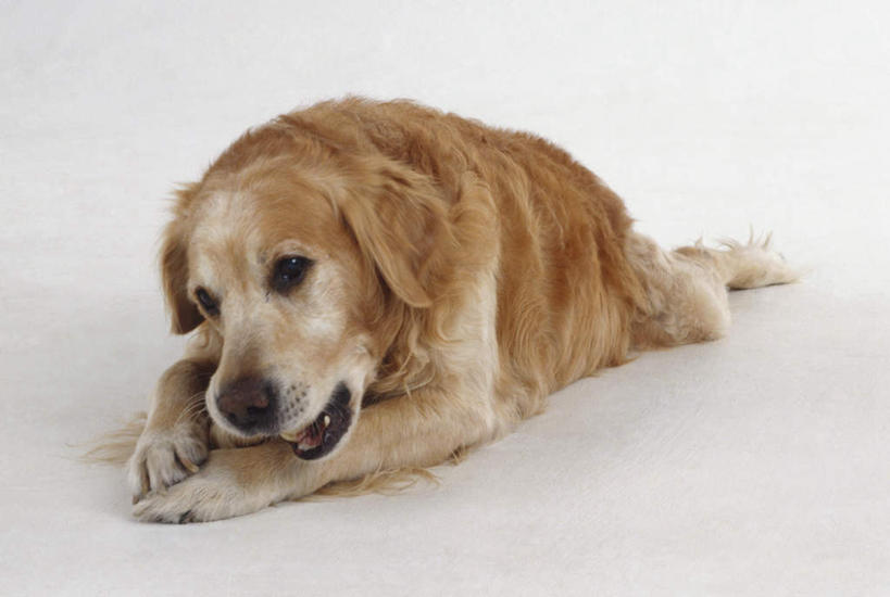 影子,灯光,扭头,注视,金毛犬,一只,动物,观察,看,趴着,张嘴,转头,可爱