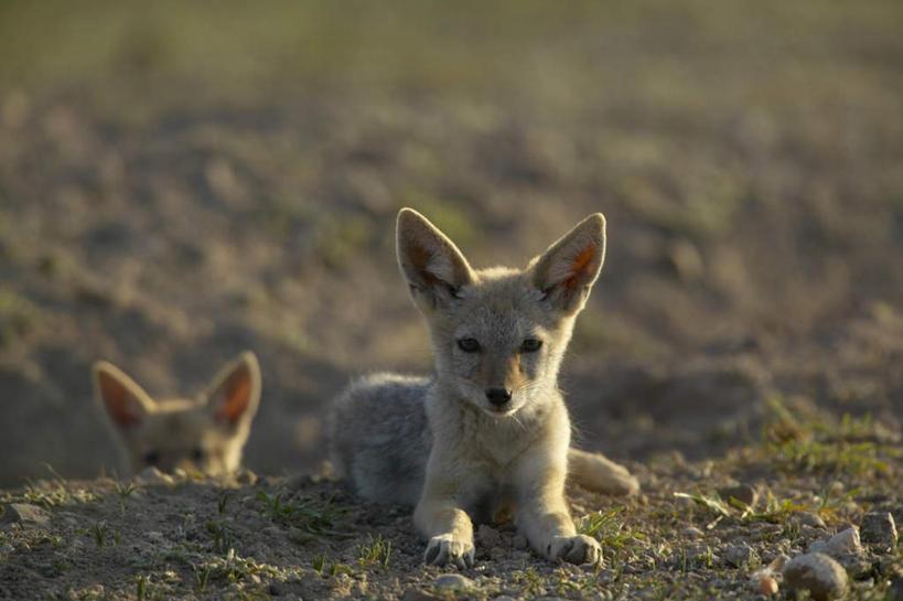 野生动物,非洲,博茨瓦纳