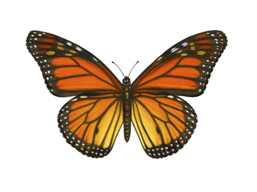 蝴蝶是不是动物