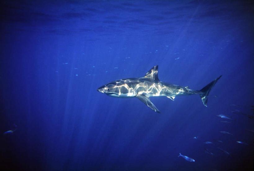 景色,自然风光,水生动物,大洋洲,澳洲,水生物,凶猛,大白鲨,张大嘴巴图片