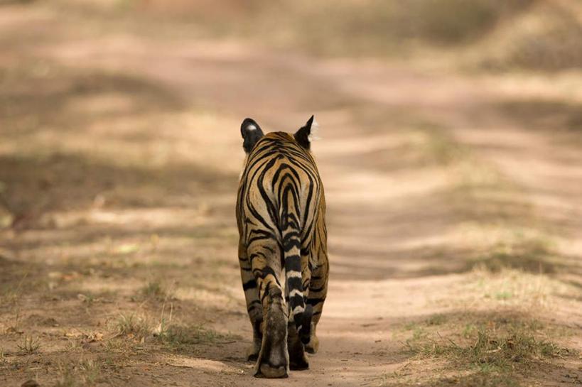 美景,植物,道路,路,哺乳动物,虎,野生动物,印度,亚洲,阴影,光线,影子