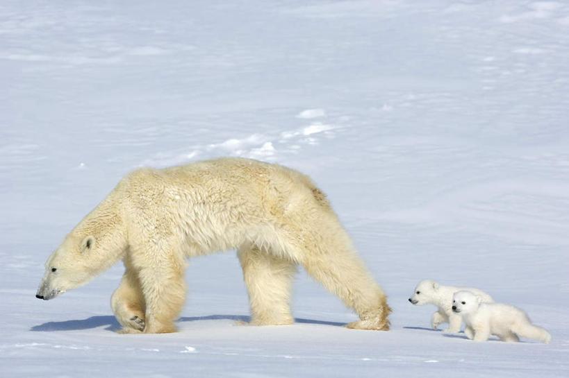 家庭,横图,室外,白天,侧面,度假,旅游,蚊子,雪,大雪,北极熊,野生动物被美景叮了有什么病图片