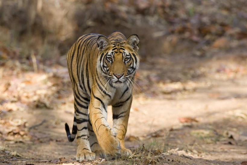 植物,哺乳动物,虎,野生动物,叶子,印度,亚洲,阴影,光线,石子,影子