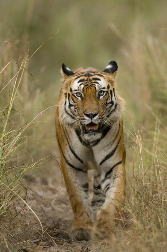 草坪,美景,植物,哺乳动物,虎,野生动物,印度,亚洲,阴影,光线,影子