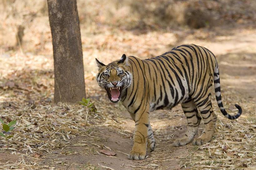 度假,美景,植物,哺乳动物,虎,野生动物,印度,亚洲,阴影,光线,影子