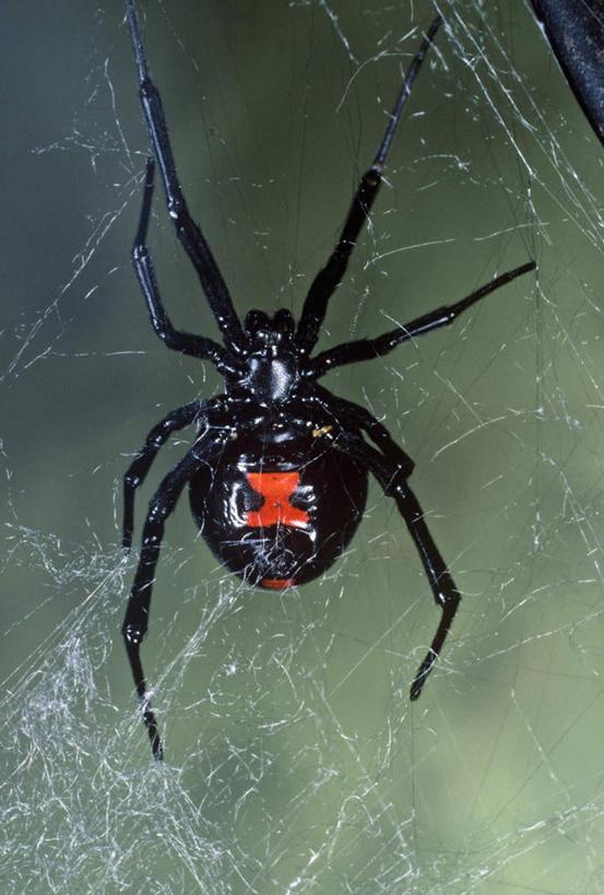 蜘蛛是节肢动物