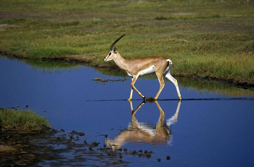 美景,水,植物,野生动物,羊,非洲,坦桑尼亚,阴影,波纹,光线,羚羊,影子
