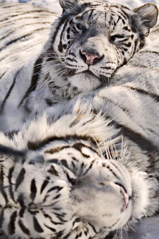 白天,旅游,度假,美景,哺乳动物,虎,野生动物,加拿大,阴影,光线,影子