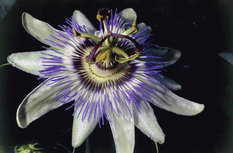 花蕾,花,花瓣,花朵,鲜花,食物,一朵,紫色,黑色,自然,百香果,花苞,花蕊