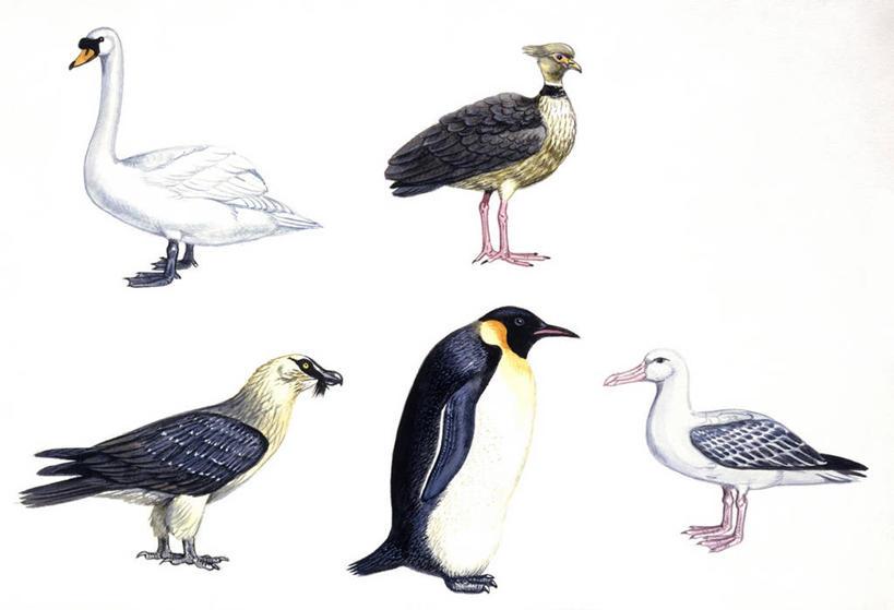 企鹅,野生动物