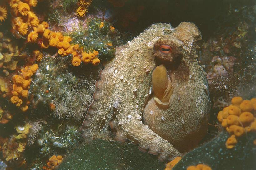 石吸,死牛,望潮,坐蛸,环境,生物学,水生动物,海产品,水生物,海底动物