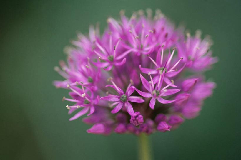 图像,花蕾,花,花瓣,花朵,鲜花,食物,一朵,一个,粉色,自然,春天,花苞