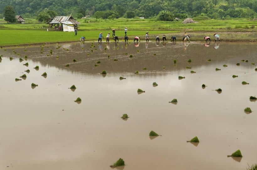 反射,稻田,景观,树,自然,景色,摄影,东南亚,生长,自然风光,努力,泰国