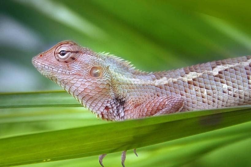 白天,侧面,懒惰,野生动物,蜥蜴,叶子,印度,自然,动物,摄影,环境,冷血