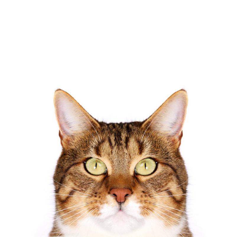无人,横图,特写,留白,白色背景,正面,宠物,摄影,头像,肖像,斑纹猫
