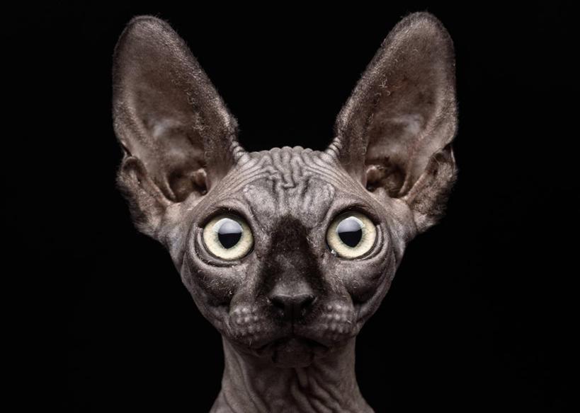 皱纹,无人,横图,正面,宠物,猫,黑色背景,动物,可爱,凝视,摄影,肖像