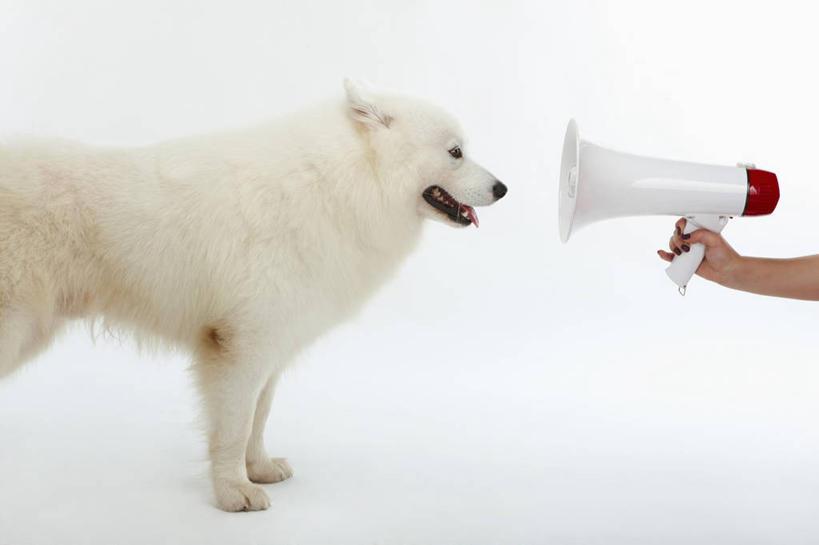 动物,话筒,站着,手部,可爱,握着,摄影,影棚,单个,单手,传声筒,萨摩耶