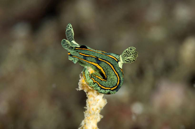 海洋生物,无脊椎动物,自然,动物,摄影,软体动物,海兔,太平洋,水生动物