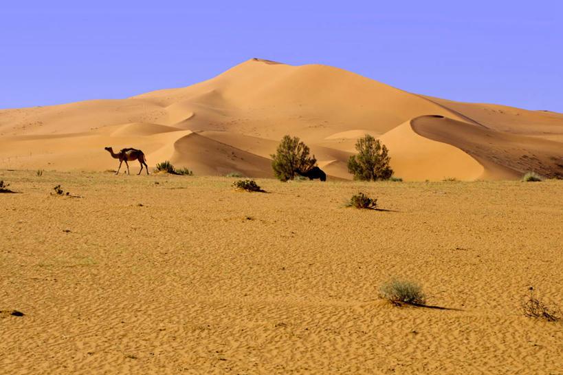 沙漠,日光,沙丘,首都,駱駝,草,自然,家畜,攝影,波斯灣,沙特阿拉伯圖片