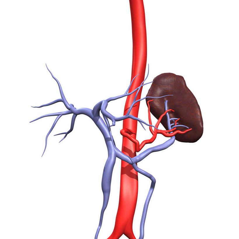 脾脏的血管结构图